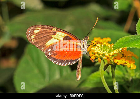 Hecales Longwing (Heliconius hecale) South America - Stock Image