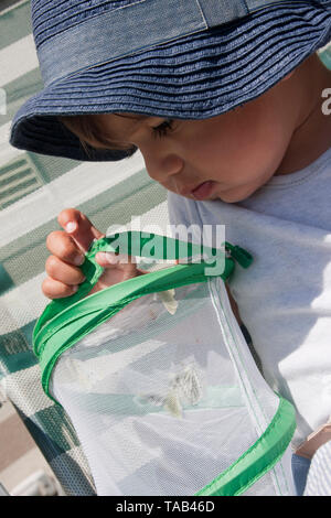 Young boy toddler, Looking inside bug catcher containing cabbage white butterflies, England, UK - Stock Image