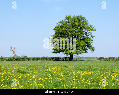 Spring river meadow with buttercups and tree and blue sky.  Oxfordshire - Stock Image