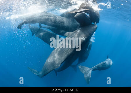 Family of Sperm whales (Physeter macrocephalus) engaged in social activity, rubbing against each other, Indian Ocean, March. - Stock Image
