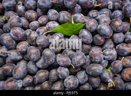 Fresh picked Damsons or Damson Plums (Prunus domestica) being left to dry - Stock Image