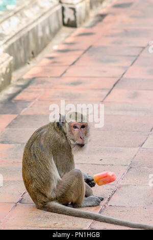 Macaque monkey holding a ice cream looking into the Camera, Thailand - Stock Image