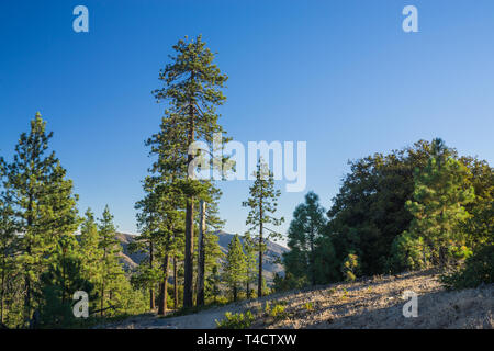 Tall green pines stand on a mountainside in the Angeles National Forest of southern California. - Stock Image