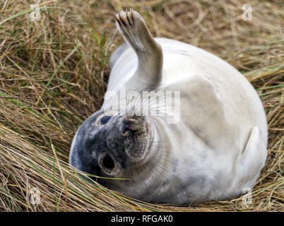 Grey seal pups on the beach at Horsey, Norfolk, one of the main breeding sites for these endearing marine mammals on the east coast of England. - Stock Image