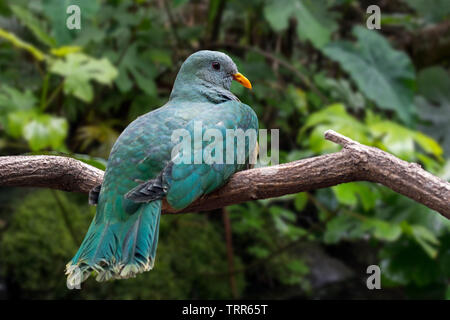 Black-chinned fruit dove / black-throated fruit dove / Leclancher's dove (Ptilinopus leclancheri) perched in tree, native to Taiwan and Philippines - Stock Image