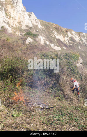Nature conservation work for Natural England on the Axmouth to Lyme Regis undercliffs. Removing invasive buddleia to create opportunity for native spe - Stock Image