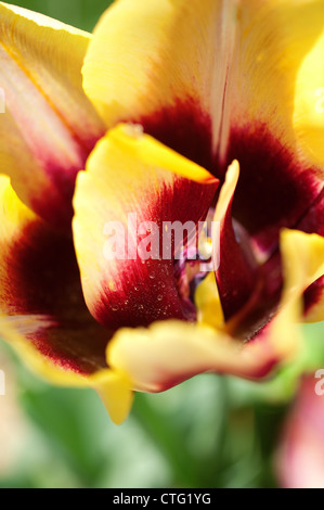 close up of tulip flower - Stock Image