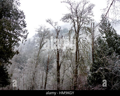 Winter in Vancouver Island Series 2 - Winter tree with fresh snow in the park. Vancouver Island. - Stock Image