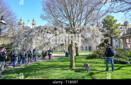 Brighton, UK. 25th Mar, 2019. Visitors enjoy the beautiful Spring sunshine and tree blossom in Pavilion Gardens today as the weather is forecast to warm up throughout Britain over the next few days Credit: Simon Dack/Alamy Live News - Stock Image