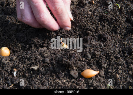 Close up of white onion set being planted by hand in soil - Stock Image