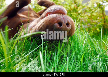 Brown Labrador Retriever rolling in the grass, Sweden - Stock Image