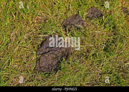 Fresh cow manure on the grass. - Stock Image