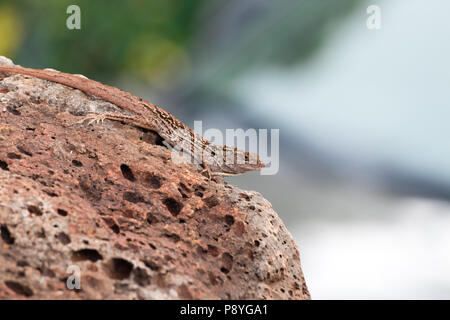 Brown anole, Anolis sagrei, lizard on lava rock in Maui, Hawaii - Stock Image