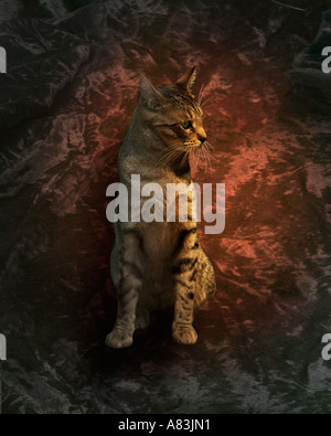 Dramatic studio portrait of a gray male tabby - Stock Image