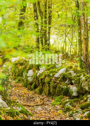 Forest woodland trees with stone wall long neglected in past - Stock Image