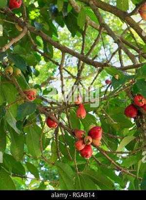 Syzygium malaccense. Botanical garden. Rio de Janeiro. Brazil - Stock Image