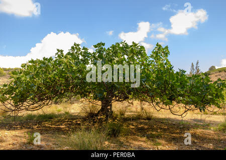 Common fig tree ( Ficus Carica ) of the Mulberry family, flourishing  in the July summer Greek heat, Saronida, Greece, Europe. - Stock Image