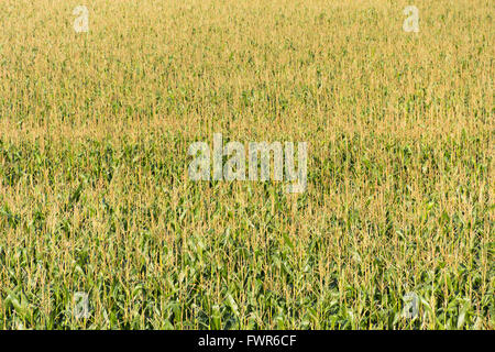 Full frame of ripening wheat in late summer in a field near Avebury, Wiltshire. - Stock Image