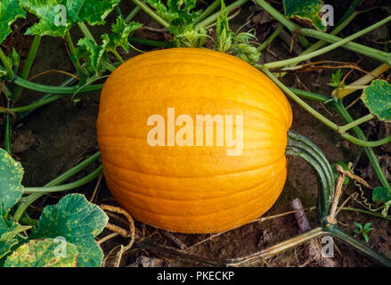 Agriculture - Mature pumpkin on the vine / Tennessee, USA. - Stock Image