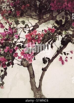 Pink bougainvillea flowers tree - Stock Image