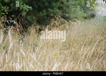 Deschampsia caespitosa, Tufted Hair Grrass or Tussock Grass, Wales, UK. - Stock Image