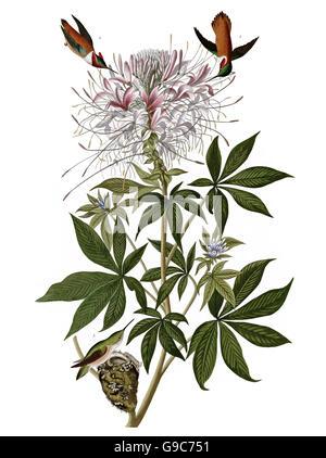Rufous Hummingbird, Selasphorus rufus, birds, 1827 - 1838 - Stock Image