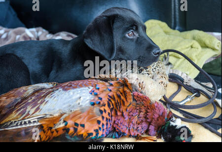 Young, ten week old, Black Labrador  puppy on one his first outings sat with a barce of pheasants in the back of a car - Stock Image