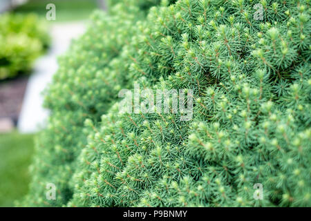 A dwarf mounding Picea, a white spruce, growing in Kansas, USA. - Stock Image