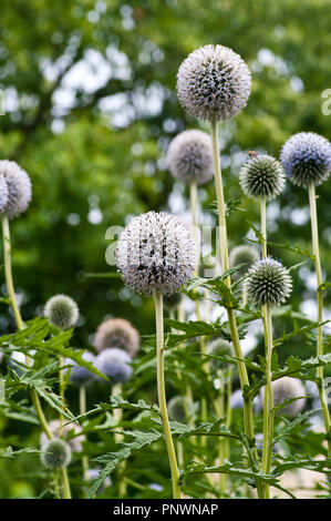 Echinops Flowers Commonly Known as Globe Thistles - Stock Image