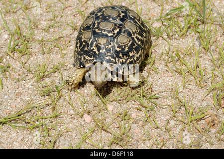 Leopard tortoise (Geochelone pardalis : Testudinidae) Namibia - Stock Image