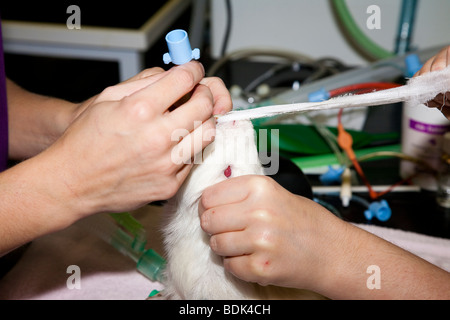 Endotracheal Intubation of a Guinea Pig - Stock Image