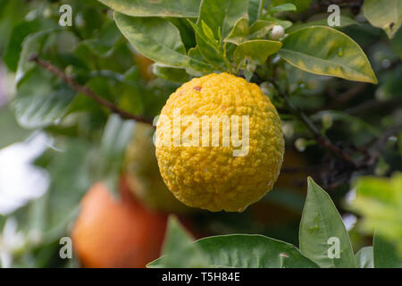 Citrus fruits of sour orange bergamot riping on blossoming thee close up - Stock Image