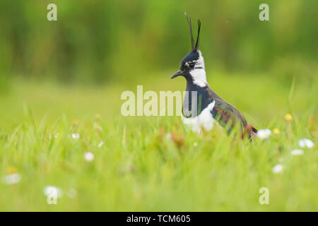 Northern lapwing (Vanellus vanellus) in a meadow walking in bright sunlight. - Stock Image