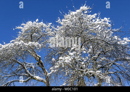 Snow-covered tree in winter - Stock Image