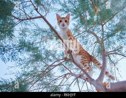 Young Cat (Felis silvestris catus) climbing on a tree, Crete, Greece - Stock Image