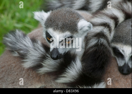 Close up portrait of a Ring-tailed lemur Lemur catta in a huddle looking at a commotion in the distance - Stock Image