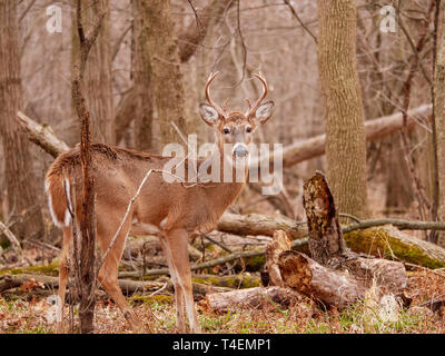 Young adult white-tailed deer buck (Odocoileus virginianus). Thatcher Woods, River Forest, Illinois. - Stock Image