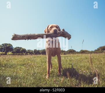 A happy Labrador retriever dog holding a big stick or log in its mouth during a game of fetch in the countryside - Stock Image