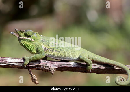 Male Canopy Chameleon Furcifer willsii  Madagascar - Stock Image