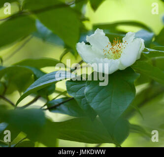 Mountain Camellia (Stewartia ovata) white flower blooming in the woods - Stock Image