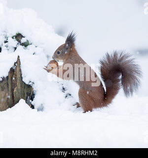 Eurasian Red Squirrel (Sciurus vulgaris) with a Walnut in a snowy forest in Austria - Stock Image