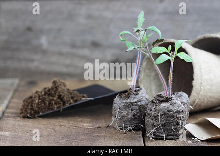 Three tomato plants with soil in trowel and seedling peat pots in the background over a rustic wooden background. Extreme shallow depth of field with  - Stock Image