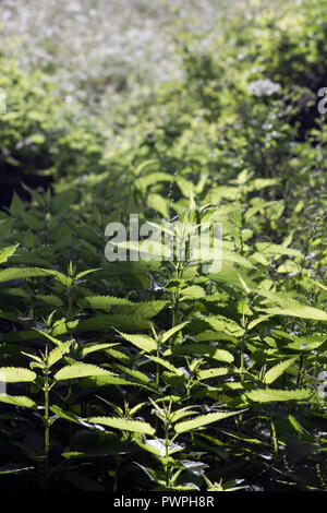 France, nettles. - Stock Image