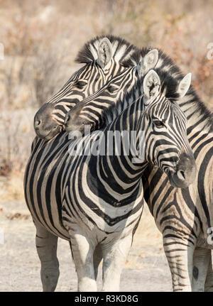 Africa, Namibia, Etosha National Park. Necking zebras. Credit as: Wendy Kaveney / Jaynes Gallery / DanitaDelimont.com - Stock Image