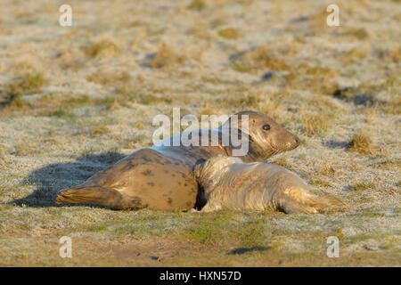 Atlantic grey seal (Halichoerus grypus) adult female suckling pup. Donna Nook, Lincolnshire. UK. January. - Stock Image