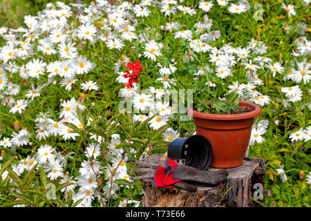 Transplanting a red geranium from one small pot to another larger. - Stock Image