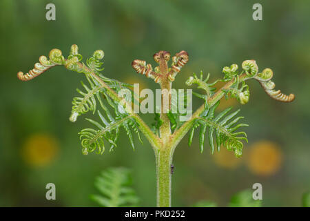 Bracken frond unfurling in late Spring in British heathland - Stock Image