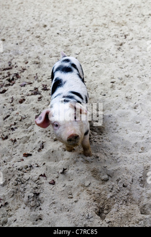 Outdoor image of a young Bentheim Black Pied with copy space. - Stock Image