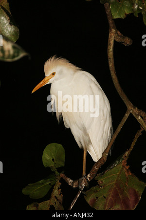 Cattle egret at night time roost Ghana - Stock Image