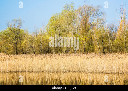 A reed bed on one of the lakes at Cotswold Water Park. - Stock Image